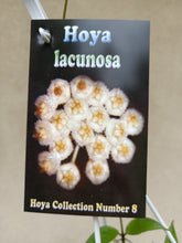Load image into Gallery viewer, Hoya lacunosa
