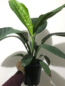Spathiphyllum 'Blue Moon' - Giant Peace Lily - PICK UP ONLY