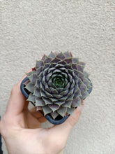 Load image into Gallery viewer, Sempervivum Slabbers seedling