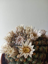 Load image into Gallery viewer, Mammillaria heyderi