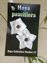 Load image into Gallery viewer, Hoya pauciflora