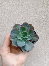 Load image into Gallery viewer, Echeveria 'Blue Curls'
