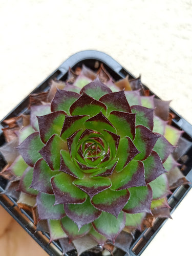 Sempervivum Lioness