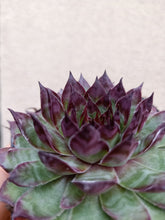 Load image into Gallery viewer, Sempervivum tectorum 'Bronco'