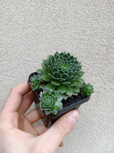 Load image into Gallery viewer, Sempervivum Spring Beauty