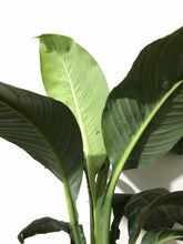 Load image into Gallery viewer, Spathiphyllum 'Blue Moon' - Giant Peace Lily - PICK UP ONLY