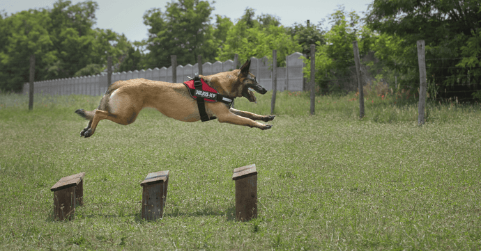 K9 Protection Dogs - Using Play Drive in Bite Work