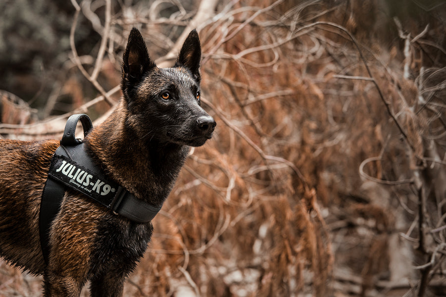 All You Need to Know About Julius K-9: Dog Collars and Leashes