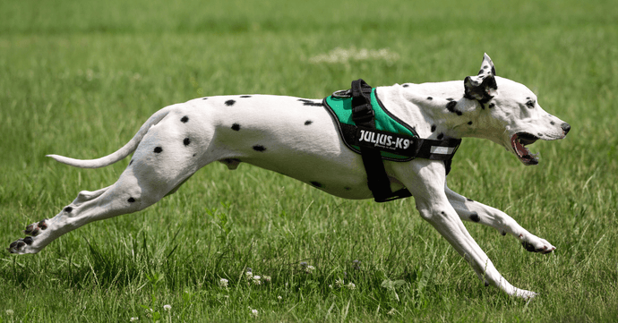 Your Dog Needs A Harness So Get Him The Best Dog Harness Out There!