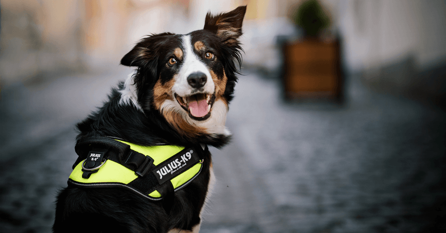 How to Properly Fit a Padded Dog Harness