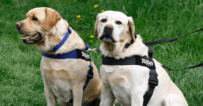Dog Shop Online: What Labrador Retriever Owners Should Know