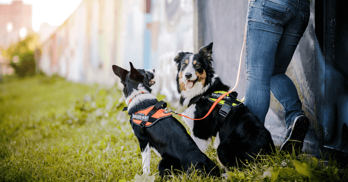 Choosing The Right Small or Large Dog Harness