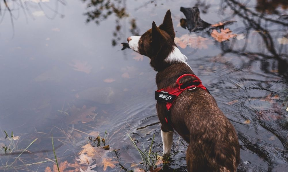 Collar Versus Harness: Which One To Choose