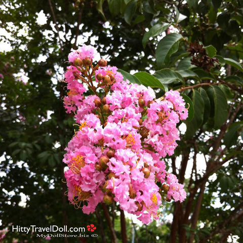 Crepe Myrtle at Interstate 75 Rest Stop #13 in Dooly County