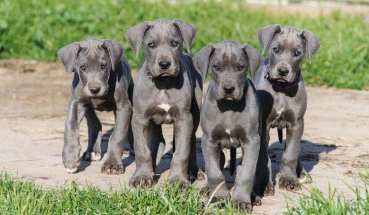 Great Dane Puppy Diamond Painting Kit - DIY