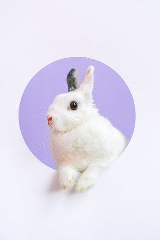 a white bunny with black ears popping out of a cut out