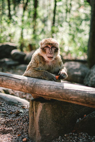 A monkey in a forest leaning over a wood with a fruit in its hands