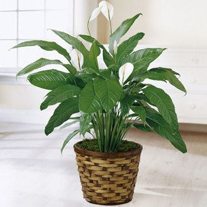 Spathiphyllum Plant Basket - Peace Lily