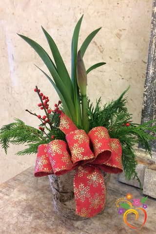 Holiday Amaryllis