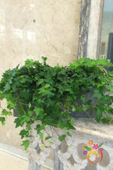 Ivy Box Garden - Local Delivery Only