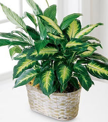 Spathiphyllum and Dieffenbachia Basket