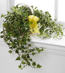 Solace™ Ivy Planter