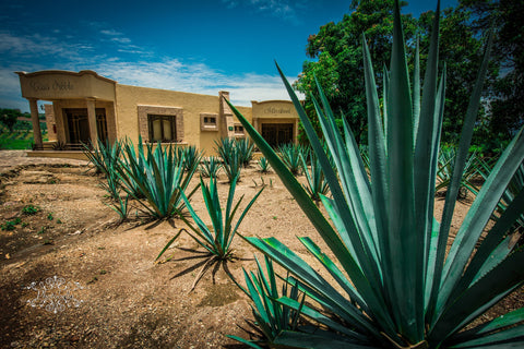 A Beginner's Guide to Tequila: Agave