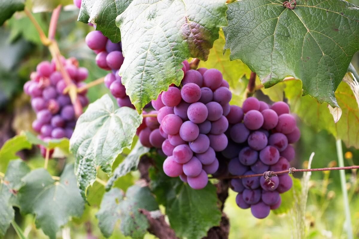 Fresh purple grapes on the vine