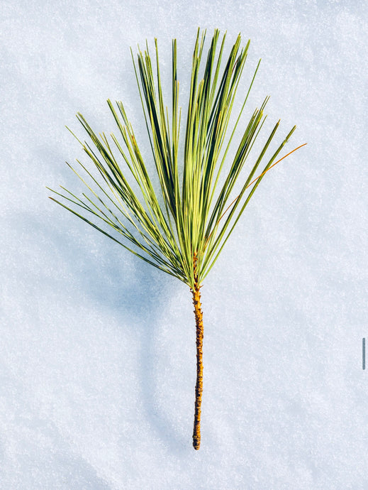 Eastern White Pine: Nature's Free Remedy