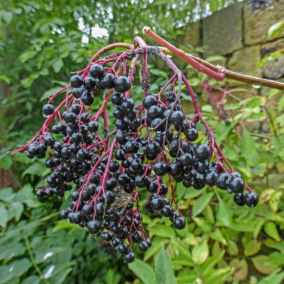 Elderberries, Chronic Fatigue Syndrome and the Body's AMAZING self healing design