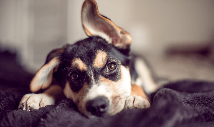 dog with clean ears