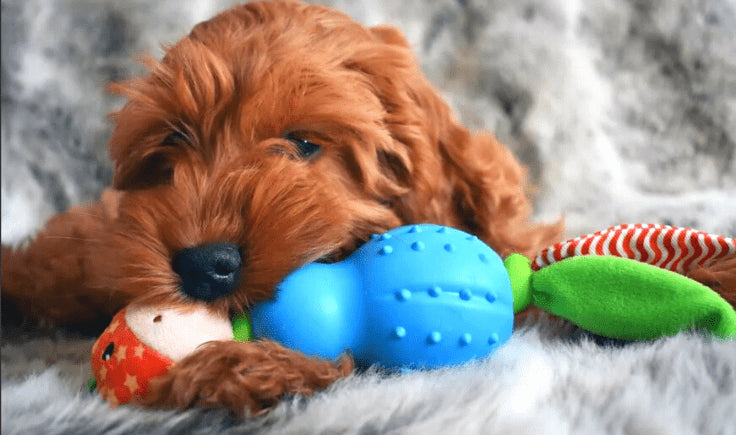 dog is playing with dog toy