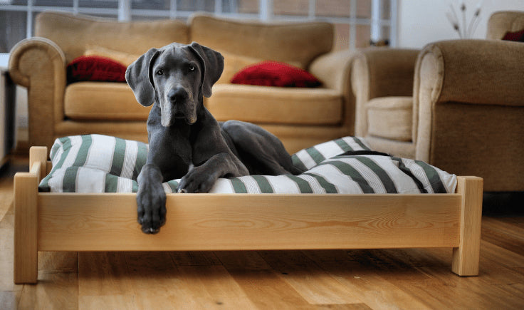 grey dane in the dog bed