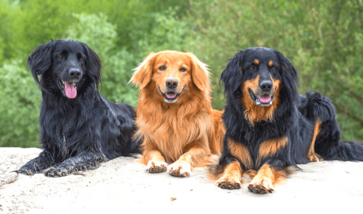 hovawart dogs