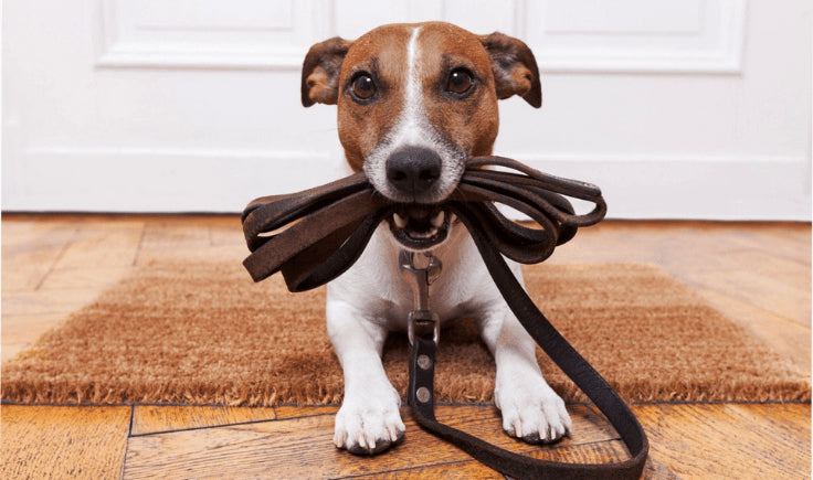 jack russell puppy holding a leash in his mouth