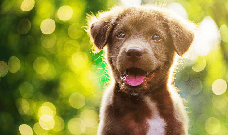 shiny brown puppy