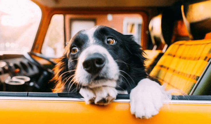 sign and symptoms of car sickness in dogs