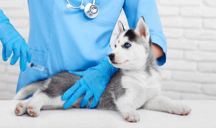 veterinarian giving a vaccine to a husky puppy