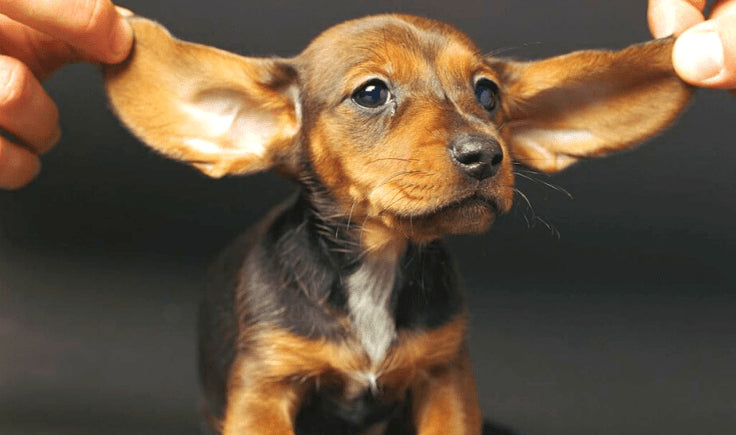 what causes dog motion sickness - not fully developed inner ears