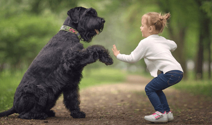 What is the Largest hypoallergenic dog breed