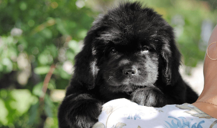 woman holding a newfoundland puppy in her arms
