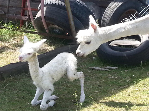 Saskapaca Cria - About Us - Premium Alpaca Products