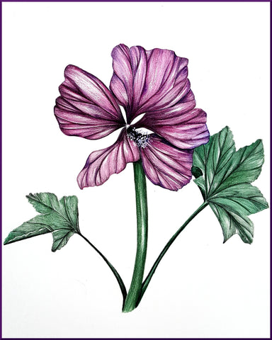 Purple Mallow