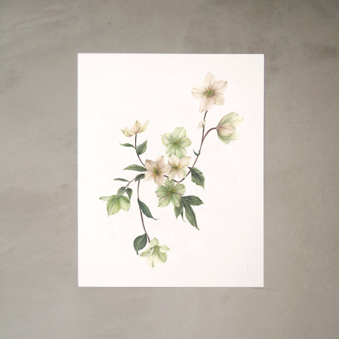 Hellebores Botanical Watercolor Artprint