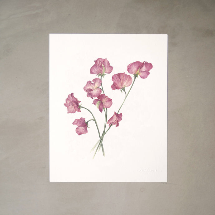 Sweetpeas Botanical Watercolor Artprint