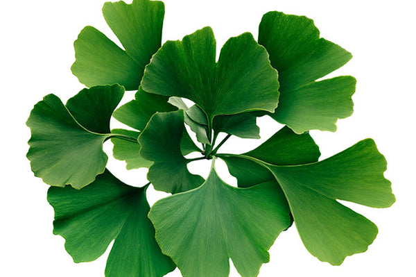 Benefits of Ginkgo Biloba Extract
