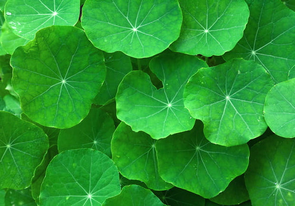 The Benefits of Gotu Kola in Skincare