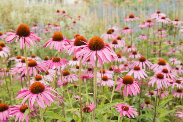 The Benefits of Echinacea in Skin Care
