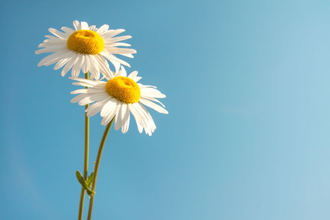 The Benefits of Daisy Flower Extract in Skin Care – Na Pali Pure
