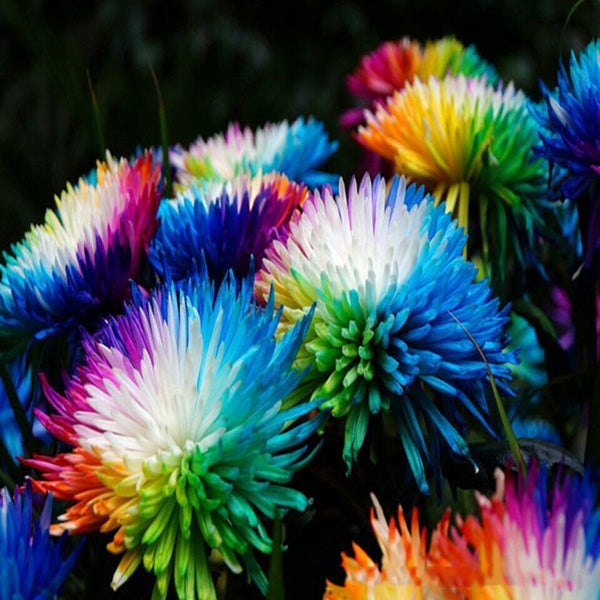 10 pcs Rare Holland Rainbow Rose Flower bonsai Home Garden Rare Flower plant 24 color rainbow Rose flores,rose flower seedlings